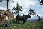 A Tutsi  herder and cow  .Lake Kivu, Western Rwanda.
