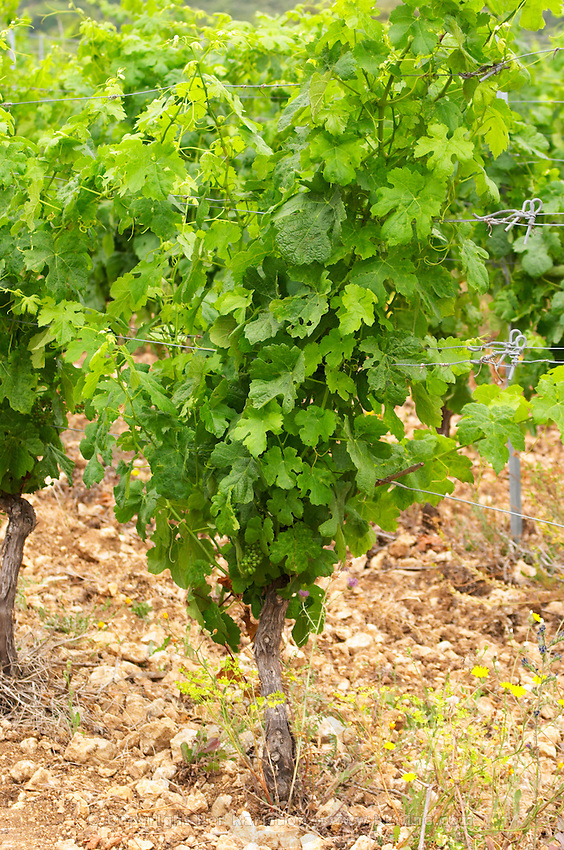 Prieure de St Jean de Bebian. Pezenas region. Languedoc. Vine leaves. Young Roussanne vines in calcareous soil in the area of Frigolas. France. Europe. Vineyard. Calcareous limestone.