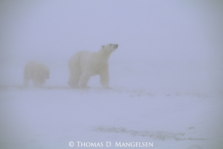 A polar bear mother peers through a snowstorm, her cub following behind her in Churchill, Manitoba, Canada.