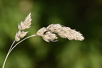 Cock's-foot - Dactylis glomerata<br /> with Ergot - Claviceps purpurea