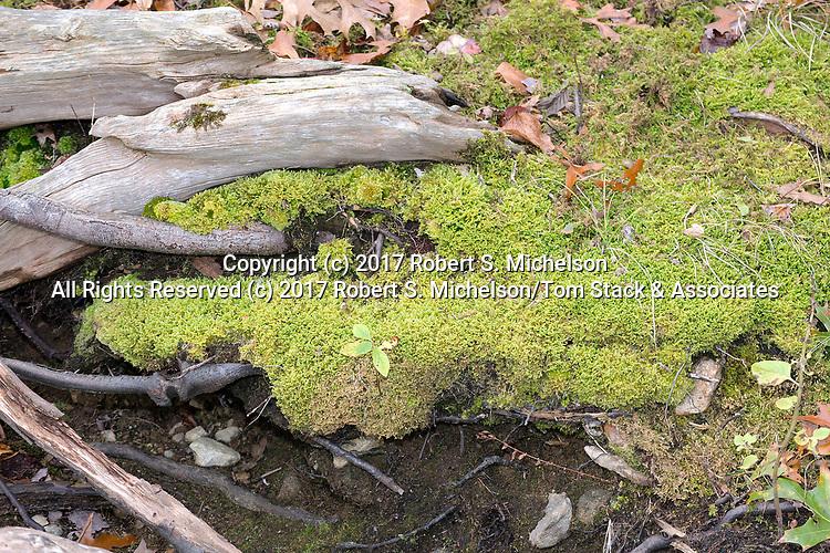Haircap moss, The Great Pond Reservoir, Randolph, Massachusetts