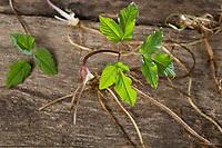 Gewöhnlicher Giersch, Ernte, ernten, Kräuter sammeln, Kräuterernte, Geißfuß, junge, zarte Blätter und Wurzel, Wurzeln im Frühjahr vor der Blüte, Aegopodium podagraria, Bishop´s Weed, Ground Elder, root, roots, Aegopode