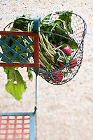 Beetroot fresh from the garden in a wire basket hanging from a chair