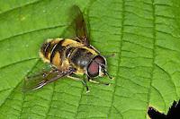 Totenkopfschwebfliege, Totenkopf-Schwebfliege, Gemeine Doldenschwebfliege, Dolden-Schwebfliege, Schwebfliege, Myathropa florea, Deathskull Fly, deathskull hoverfly