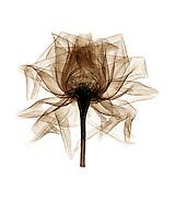 Xray Rose blossom, sepia