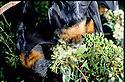 Grey-headed Flying Foxes (Pteropus poliocephalus) feeding on eucalypt blossoms. Sydney, NSW
