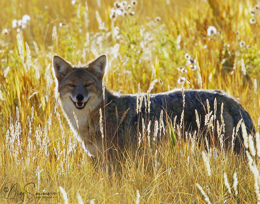Coyotes(Canis latrans) are opportunistic, versatile carnivores with a 90% mammalian diet, depending on the season. They primarily eat small mammals, such as voles, prairie dogs, cottontails, ground squirrels, and mice, though they will eat young elk or deer, birds, snakes, and lizards,  as well as large insects and other large invertebrates. Madison River, Yellowstone.