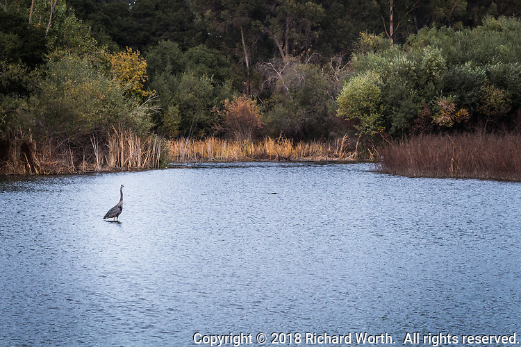 A Great blue heron stands in the shallows of the San Lorenzo Creek Reservoir at Don Castro Regional Recreation Area.