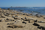 Molting elephant seals at Ano Nuevo State Park
