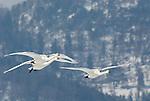 Whooper swan, Cygnus cygnus, group in flight, flying, Kussharo-ko, Hokkaido Island, Japan, japanese, Asian, wilderness, wild, untamed, ornithology, snow, graceful, majestic, aquatic.Japan....