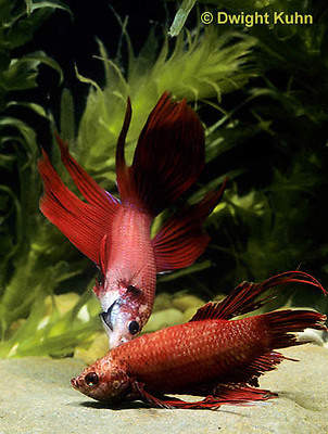 BY01-004z  Siamese Fighting Fish - male chasing and biting a rival male - Betta splendens