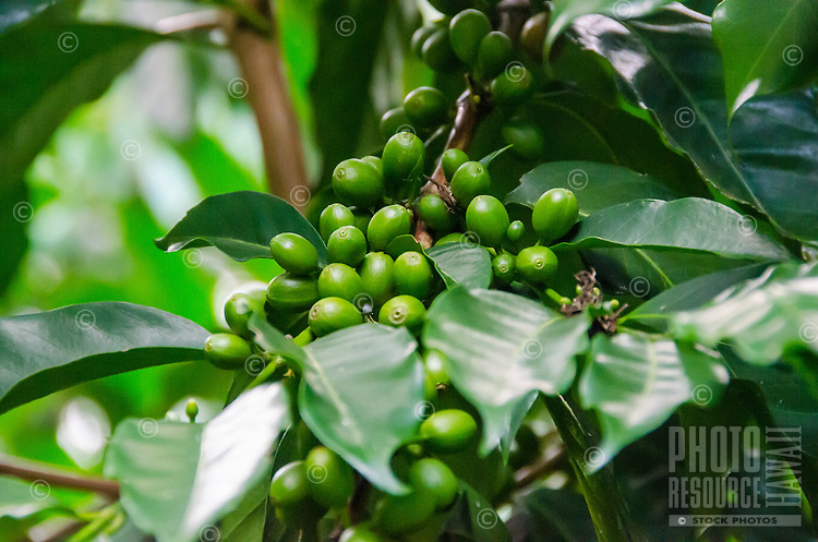 Green coffee cherries at Kaleo's Koffee orchard in Pa'auilo Mauka on the Big Island.