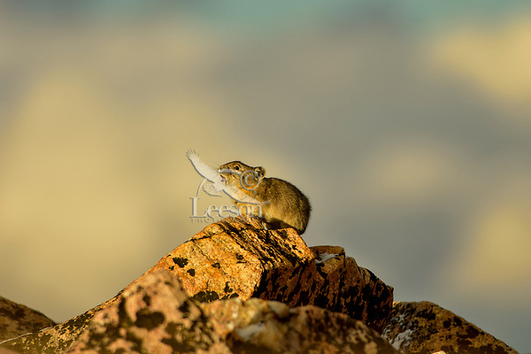 "American pika (Ochotona princeps) making a warning/territorial call--high pitched ""peeka"" sound.  Beartooth Mountains, Wyoming/Montana border.  Sept.  This photo was taken in alpine setting at around 11,000 feet (3350 meters) elevation."