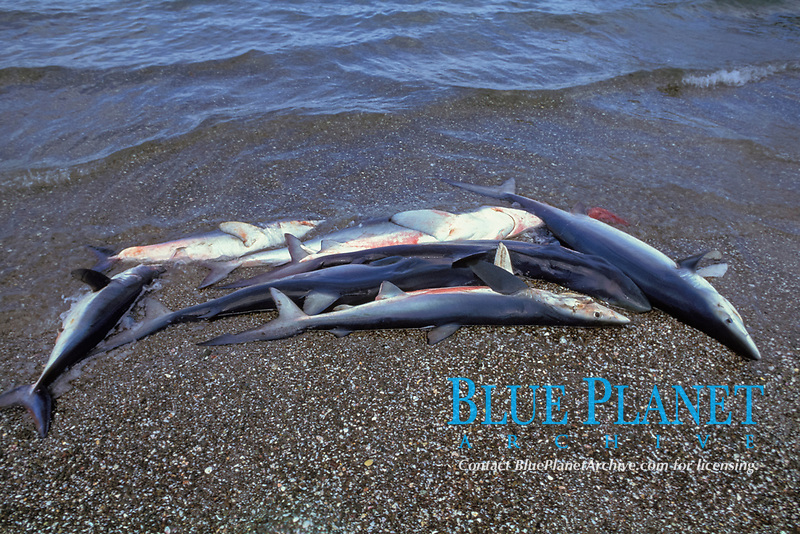 blue sharks, Prionace glauca, Mexican shark fishery, Isla Magdalena, Baja, Mexico, Pacific Ocean