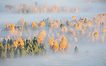 Grand Teton National Park, WY: Fog envelopes fall cottonwoods and pines in the Snake River Valley