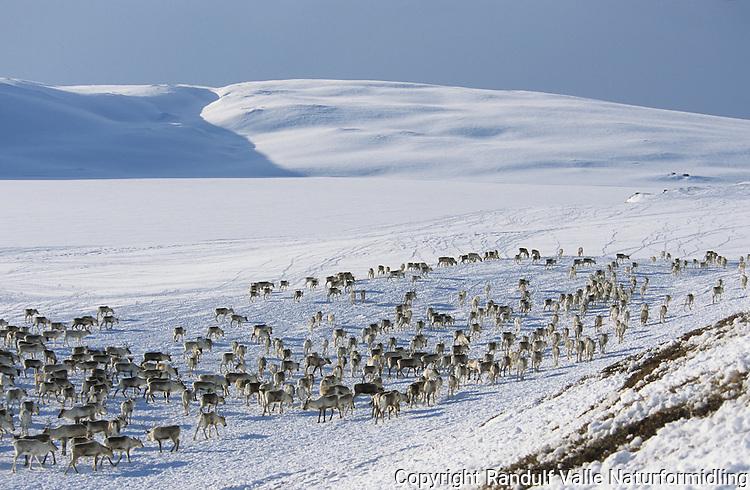 Reinsflokk på Stor-Ensjøen i Forollhogna ---- Reindeer on frozen lake in Forollhogna