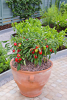 Pot container of peppers in galvanized metal edged raised bed vegetable garden, mixture of plants, celery growing, asparagus, scented geraniums Pelargonium in flowers, herbs, with stone walk pathway, patio trellised fruit tree