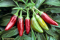 HS41-250x  Pepper - hot pepper - Jalapeno variety