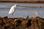 A little egret in breeding plumage (please double check ID) stands patiently in the shallows awaiting prey to pass by.