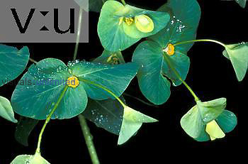 Glade Spurge (Euphorbia purpurea) rare and endangered species, North Carolina, USA