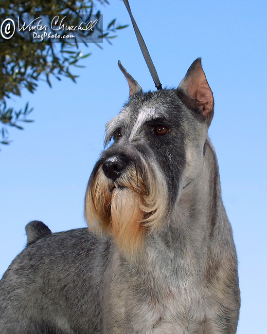 Standard Schnauzer<br /> <br /> <br /> Shopping cart has 3 Tabs:<br /> <br /> 1) Rights-Managed downloads for Commercial Use<br /> <br /> 2) Print sizes from wallet to 20x30<br /> <br /> 3) Merchandise items like T-shirts and refrigerator magnets