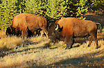 Bison at Sunrise, Norris Junction, Yellowstone National Park, Wyoming