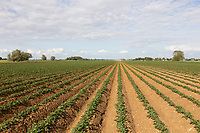 Young potato plants growing<br /> ©Tim Scrivener Photographer 07850 303986<br />      ....Covering Agriculture In The UK....