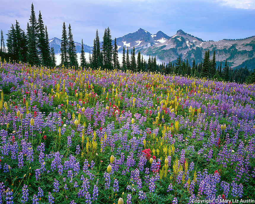 Mount Rainier National Park, WA:  Wildflowers (Lupinus latifolius, var. subalpinus, Castilleja parvfloria, Pedicularis rainierensis, Anemone occidentalis) on Mazama Ridge with clearing fog under the distant Tatoosh mountain range