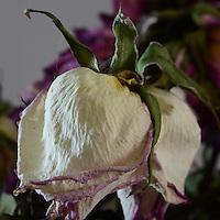BOGOTÁ-COLOMBIA-  Rosa seca./ Dry rose. Photo: VizzorImage/STR