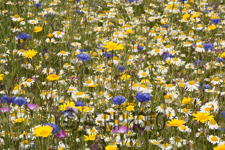 Wild flower mix on a field margin<br /> Picture Tim Scrivener 07850 303986