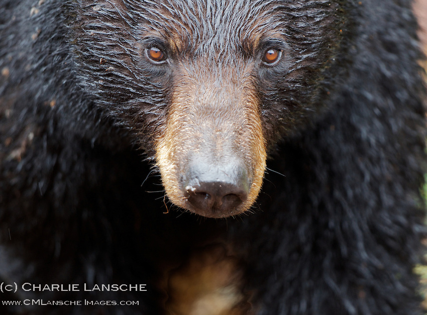 A large sow black bear near Tower Creek. She had a yearling cub in tow and her eyes speak volumes.