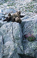 Bruine beer (Ursus arctos), moeder met jongen