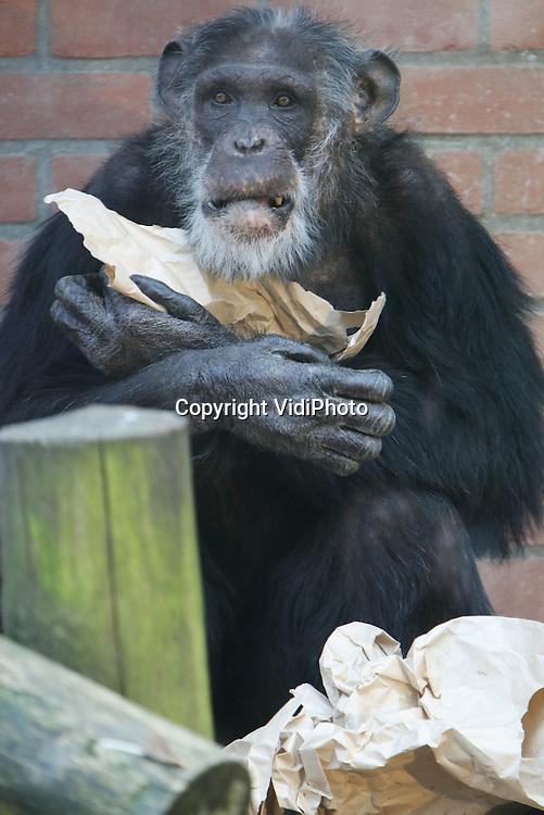 Verjaardagsfeest Hoogbejaarde Chimpansee Vidiphoto