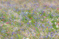 Flower meadow in France, Indre (36) with  cornflower (Centaurea cyanus), garden cosmos (Cosmos bipinnatus), Sulfur Cosmos (Cosmos sulphureus) //  France, Indre (36), prairie fleurie en août avec bleuets (Centaurea cyanus), cosmos (Cosmos bipinnatus), cosmos sulphureux (Cosmos sulphureus)