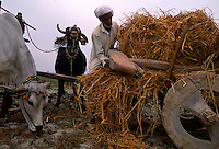 Just outside the gate to Mohenjo Daro, they are using the same carts and humped Zebu that they find in Harappan figurines.  Humped Zebu were domesticated by the Harappans. 4,800 years ago, at the same time as the early civilizations of Mesopotamia and Egypt, great cities arose along the flood plains of the Indus and Saraswati (Ghaggar-Hakra) rivers.  Developments at Harappa have pushed the dates back 200 years for this civilization, proving once and for all, that this civilization was not just an offshoot of Mesopotamia..They were a highly organized and very successful civilization.  They built some of the world's first planned cities, created one of the world's first written languages and thrived in an area twice as large as Egypt or Mesopotamia for 900 years (1500 settlements spread over 280,000 square miles on the subcontinent)..There are three major communities--Harappa, Mohenjo Daro, and Dholavira. The town of Harappa flourished during this period because of it's location at the convergence of several trade routes that spanned a 1040 KM swath from the northern mountains to the coast.
