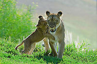 African Lions (Panthera leo).  Cub playfully attacks mom.