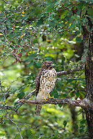 Cooper's hawk, Lake Sylvia Recreation Area, Ouachita National Forest, Perry County, Arkansas.