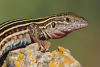 Texas Spotted Whiptail, Cnemidophorus gularis, adult, Uvalde County, Hill Country, Texas, USA