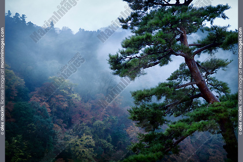 Japanese red pine tree, Pinus densiflora, in a foggy autumn morning scenery with Arashiyama mountain in the background, Kyoto, Japan. Image © MaximImages, License at https://www.maximimages.com