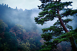 Japanese red pine tree, Pinus densiflora, in a foggy autumn morning scenery with Arashiyama mountain in the background, Kyoto, Japan.