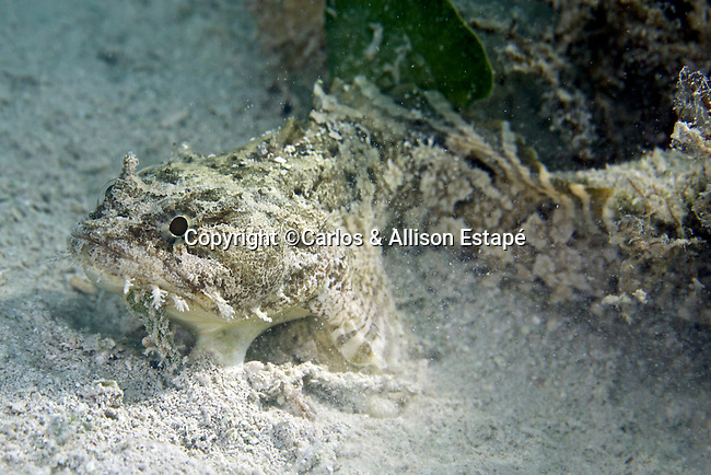 Opsanus tau, Oyster toadfish, Florida Keys