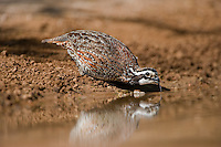 509250059 a wild male northern bobwhite colinas virginianus drinks from a small pond in the rio grande valley in south texas