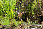 Virginia rail flapping wings