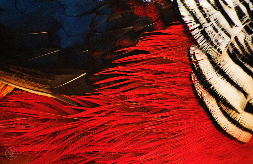 Pheasant feathers, bright and ruffled.