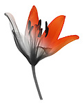 Blended x-ray image of an Asiatic lily (side view) by Jim Wehtje, specialist in x-ray art and design images.