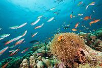 Maldives Anemonefish, Amphiprion nigripes, Rasdhoo Atoll, Indian Ocean, Maldives