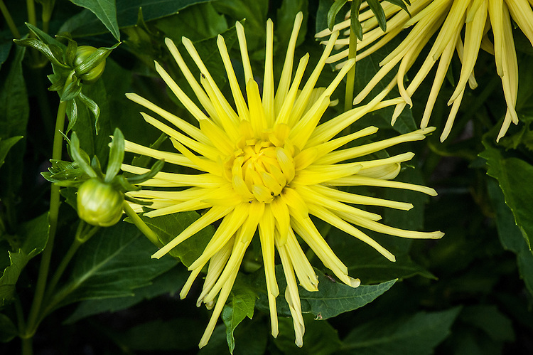 Dahlia 'Gryson's Yellow Spider', early September. A pure yellow Cactus Group dahlia with long, thin, spidery petals.