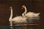 A Mute Swan family (Cygnus olor) relaxes in the quiet waters.  Ontaio, Canada