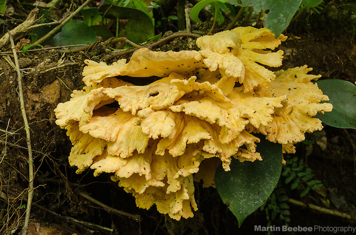 Shelf fungus, Santa Elena Cloud Forest Reserve, Costa Rica