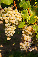 Grapes in the Badascony vineyards , Balaton, Hungary
